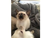 Siamese little girl available