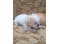 Gorgeous Jack Russell X ship tzu puppies for sale