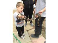4ft royal python and vivarium ni