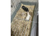 Guinea pig 🐽 for free