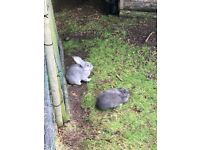 Continental Giant Baby Rabbits for Sale