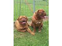 KC reg Dogue de Bordeaux pups