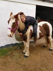 (BEEN REDUCED) beautiful Cob mare horse pony 1500