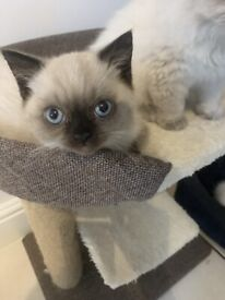 Stunning Blue Point Persian Kittens for Sale - Ready to Go