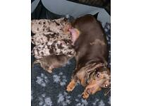 Miniature dachshund puppies 1 boy available