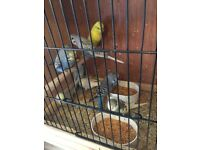 beautiful young budgies for sale lots of different colors to choose from just £ 10 each