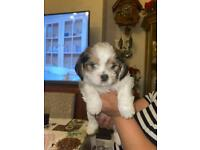 Shih Tzu X Yorkshire Terrier puppy's for sale