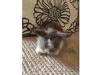Chocolate split doe blue eyed baby lionhead rabbit