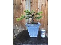 Bonsai White Pine