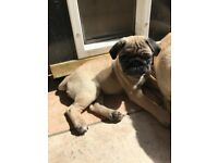 Pug Puppy Girl KC Registered Ready now