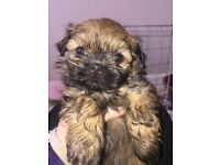 Shihtzu puppies 1 male left