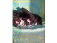stunning chihuahuas for sale