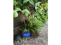 Blue plant pot with large tree