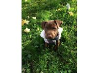 13 week chocolate patterdale good with kids and other dogs