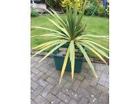 Extra Large Cordyline Australis Plant