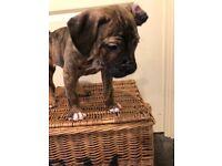 Stunning Bully Puppies £600ono
