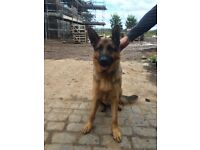 5* SUPERB HOME REQUIRED FOR GERMAN SHEPHERD