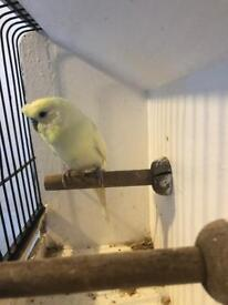 Crested/ tuft budgies