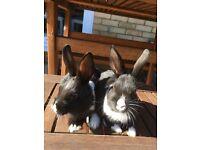 Dwarf Baby Rabbits