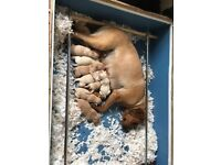 KC Registered pedigree puppies Fox red and yellow
