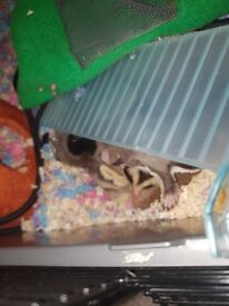 young sugarglider pair for sale + cage and equipment