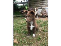 Brown & White Purebred Collie Pups