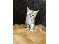 Five half Persian, half Irish silver tabby kittens for sale