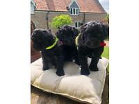 Havapoo puppies for sale 2 boys snd 1 tiny girl