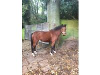 6 year old section B x Hackney mare