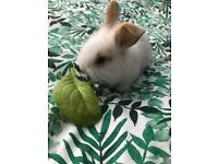 ** BUNNIES FOR SALE **