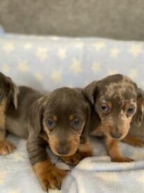 Beautiful Isabella dapple dachshunds