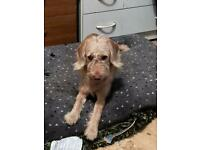Labradoodle for re home