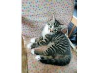 Lovely Tabby kitten with bed Bowles etc