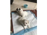 Bichon frise/shih tzu puppies
