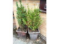 2 semi-mature dwarf conifers (chamaecyparis I think), pot grown, just £5 each or £7 for pair
