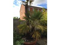 Lovely Twin Palm Tree