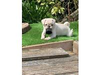 1 GIRL PUG FOR SALE🐶 PRICE REDUCED!!