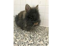 baby dwarf netherland dwarf rabbit, female super tame