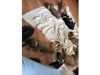 Cane corsa presa mastiff