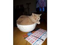 British short hair pedigree cat for sale