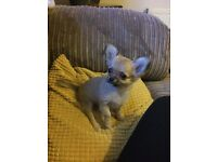 KC reg Long haired female chihuahua puppy