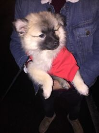 Adorable beige pomeranian puppy with food and accessories