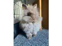 Double Maned Lionhead Rabbit