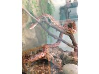 4/5 Year old female corn snake with fully functional vivarrium