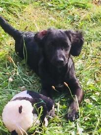 5 months old cockerpoo puppy girl 😍