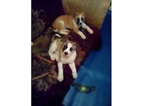 American Akita cross American Bulldog Puppies
