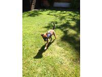 Jackrussle x Yorkshire terrier
