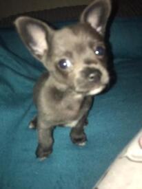 Male Blue Chihuahua