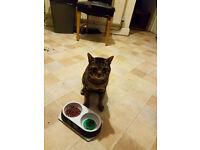 lost grey tabby cat
