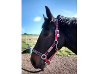16.1hh dark bay gelding for loan with view to buy